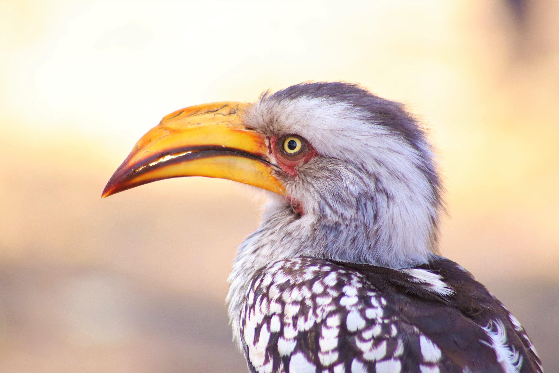 Red-Billed-Hornbill-Roger-Brown