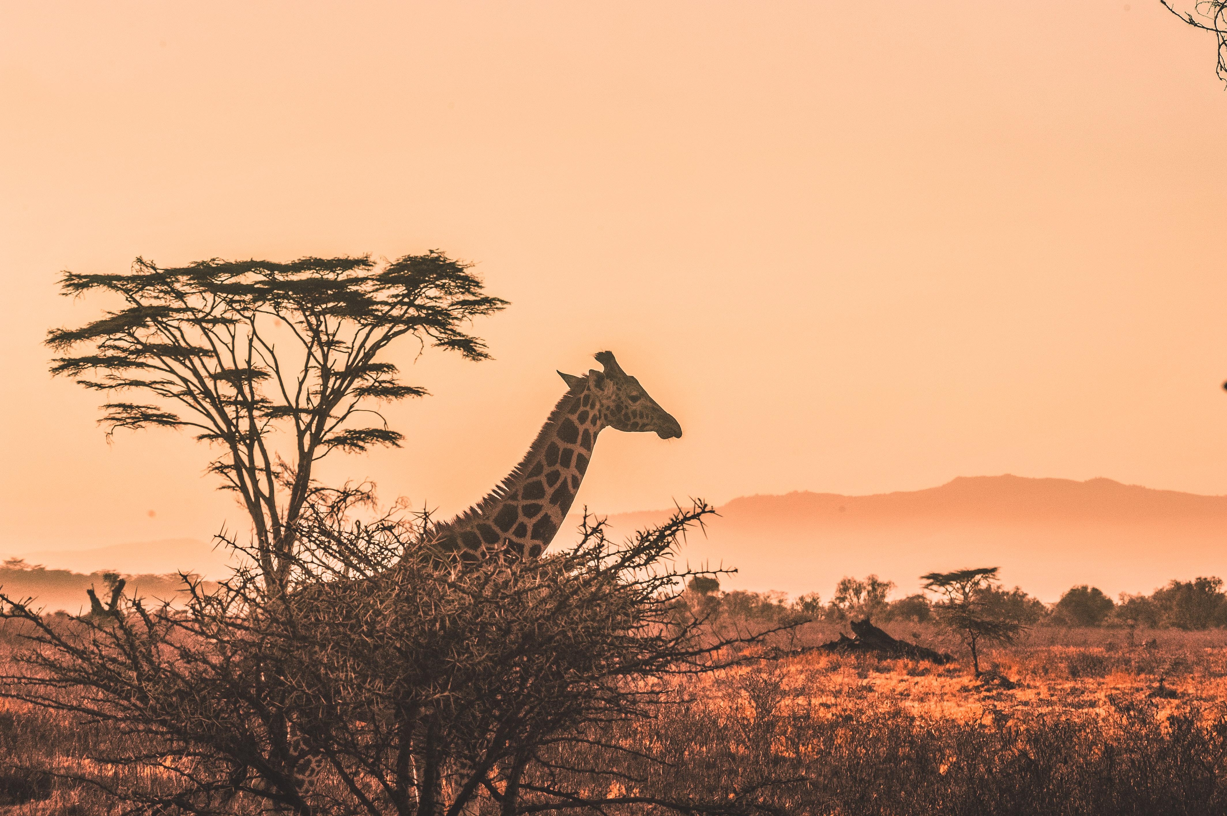 Zambia-giraffe-national-park-africa-Harshil-Gudka
